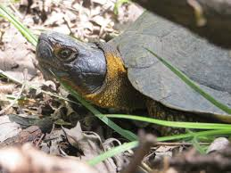wood turtle glyptemys insculpta reptiles and amphibians of iowa