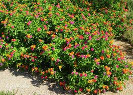 garden design garden design with trailing lantana plants purple
