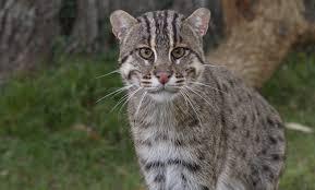 fishing cat smithsonian u0027s national zoo