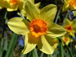 daffodil flowers flowers world