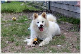 american eskimo dog jack russell mix welland on husky meet akino a dog for adoption