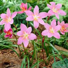 Rain Lily Pink Rain Lily Fairy Lily Zephyranthes American Meadows