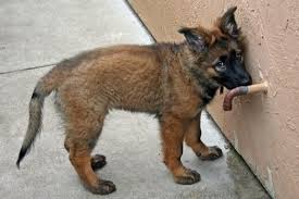 belgian shepherd 3 months talk about sable color changes page 3 german shepherd dog forums