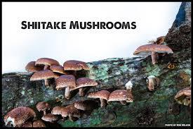 how to grow mushrooms in your yard shiitake plugs youtube