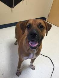 1 year old boxer dog canon city co boxer great dane mix meet colonel a dog for