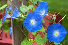 Blue Flower Vine - ipomoea tricolor u0027heavenly blue u0027 morning glory