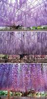 best 25 wisteria tree ideas that you will like on pinterest