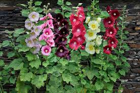 hollyhock flowers hollyhock alcea rosea flowers photograph by visionspictures