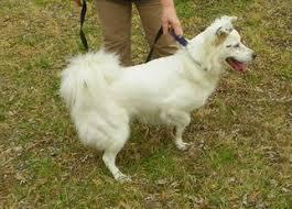 australian shepherd mix with border collie view ad border aussie dog for adoption tennessee bartlett usa