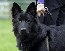 belgian shepherd epilepsy 14 best my dogs images on pinterest animals german shepherd