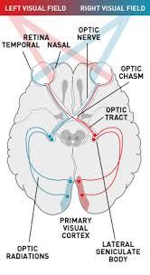 Pathway Of Light Through The Eye Eye Visual Pathway Visual Reflex Embryology Anatomy Iii