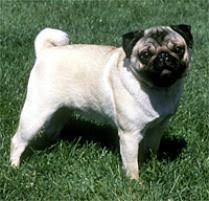 Dogs For The Blind Adoption Adopt A Pug Dog Breeds Petfinder