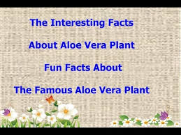 aloe vera plant facts the interesting facts about aloe vera plant fun facts about the