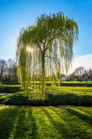 365 willow tree stadspark