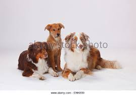 5 monate alter australian shepherd harzer fuchs stock photos u0026 harzer fuchs stock images alamy
