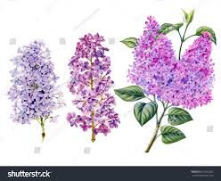 Lilac Flower by Watercolor Hand Painted Lilac Flowers Can Stock Illustration
