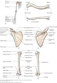 Anatomy Of The Shoulder Girdle Chapter 16 The Shoulder Dutton U0027s Orthopaedic Examination