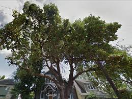 heritage tree protected by seattle city light employees