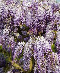 buy chinese wisteria u0027prolific u0027 bakker com
