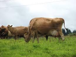 meet the cows who make the cream organic valley farm visit
