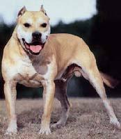 american pit bull terrier registry american pit bull terrier pit bull pitbull