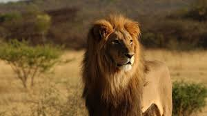 imagenes de leones salvajes gratis león salvaje 1366x768 fondos de pantalla y wallpapers