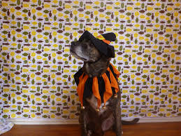 dog candy corn witch costume vote for who wore it best and win a halloween costume for your dog