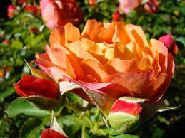 famous rose flower garden pictures photos garden and landscape