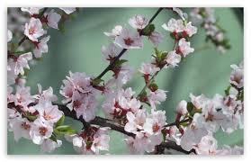 apple tree bloom wallpapers blooming tree spring 3 4k hd desktop wallpaper for 4k ultra hd