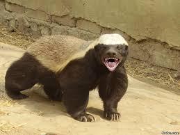 Honey Badger Meme Generator - badass honey badger meme generator captionator caption generator