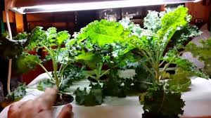 how to hydroponics easy kale complete guide and grow organically