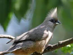 birds of the world mousebirds
