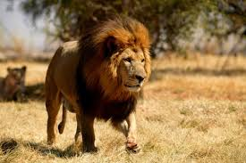 male lion wallpapers lk 569 4k ultra hd picture of a lion images wallpapers for