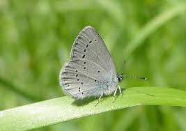 highland biodiversity scrabster harbour small blue butterfly project