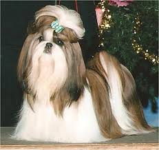 pictures of shorkie dogs with long hair would tinta look like this w long hair shih tzu pinterest