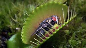 flesh eaters carnivorous plants lure insects into their deadly