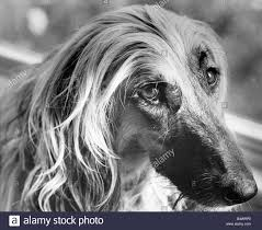8 month old afghan hound afghan hound black and white stock photos u0026 images alamy