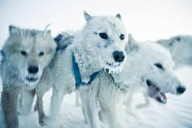 experience dog sledding in greenland visit greenland