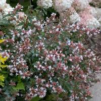 Top Flowering Shrubs - top 10 shrubs for fragrance proven winners