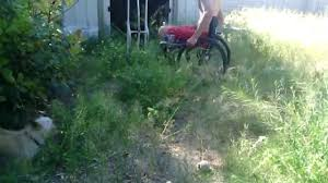 wheelchair style pulling london rocket weeds using hammer in