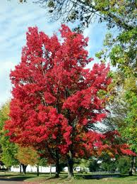 augusta wisconsin fall splendor blazing red maple