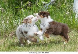 australian shepherd red merle puppy blue merle and red tri stock photos u0026 blue merle and red tri stock
