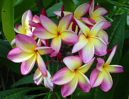 Plumerias Plumeria Uk Exotic Tropical Flowers And Plants From Hawaii