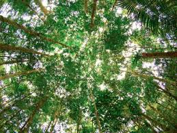 canopy amazon laser and satellite technology maps how much carbon the amazon