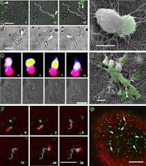 D Collagen a spectrum of biophysical interaction modes between t cells and