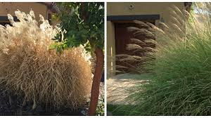 pruning ornamental grasses grow beautifully