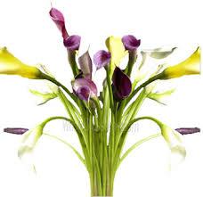 calla colors buy stem mini calla lilies online