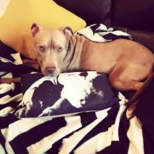 american pitbull terrier ireland hank is sprung u0027death row dog u0027 confiscated during raid can return