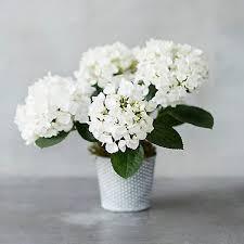white hydrangea white hydrangea dotted pot terrain