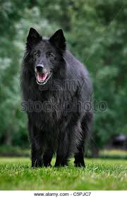 belgian sheepdog laekenois belgian shepherd dog stock photos u0026 belgian shepherd dog stock